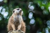 meerkat-san-diego-zoo