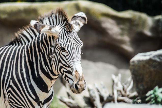 5c214-zebra